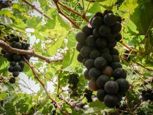 Bezoek een Balinese wijngaard