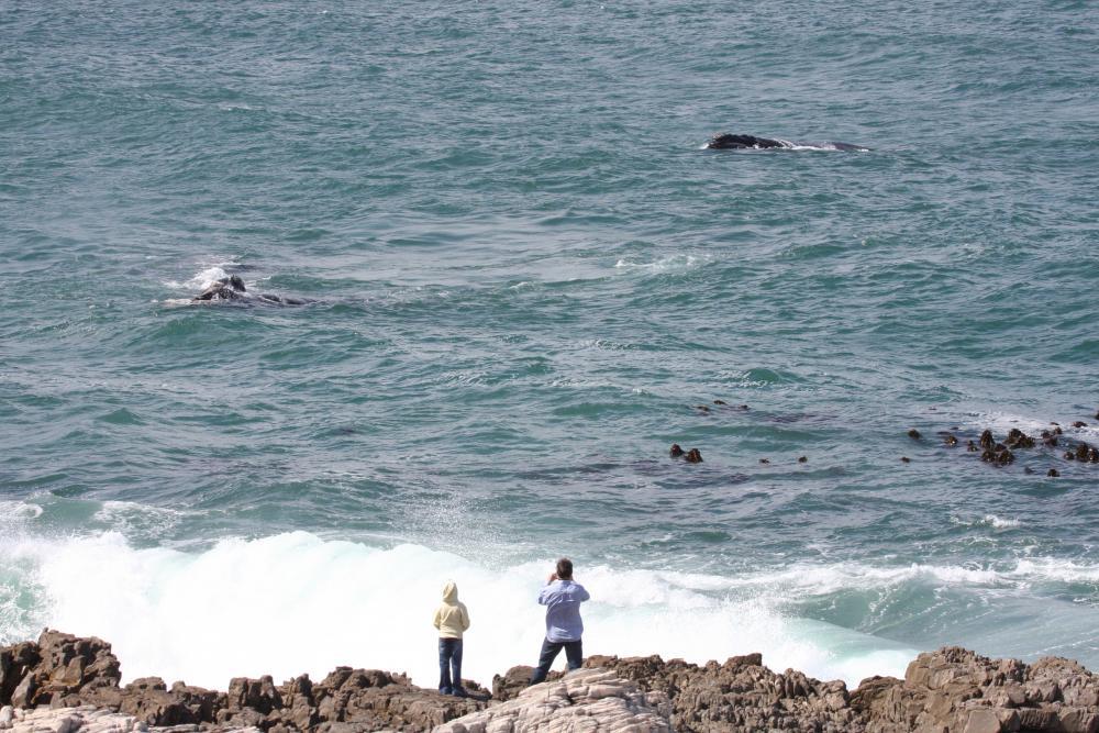 Walvissen spotten in Hermanus