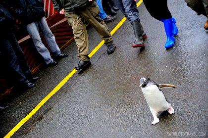 Volunteer Penguins Parade