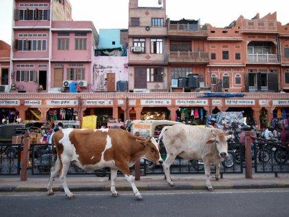 Urban cows in Jaipur, India
