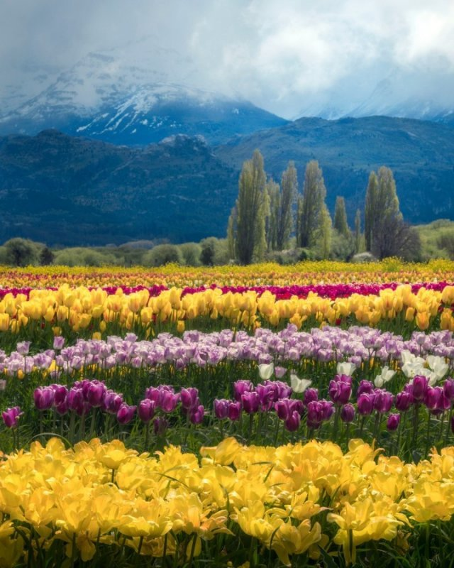 What to see in patagonia: a field of tulipans