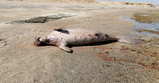 Dead Dogung found in Marsa Alam Beach