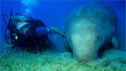 Red Sea Dugongs