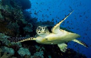 Turtles of the Red Sea
