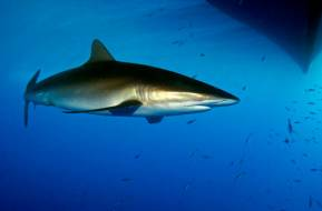 Red Sea Sharks