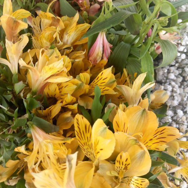 Yellow bloom of Venus