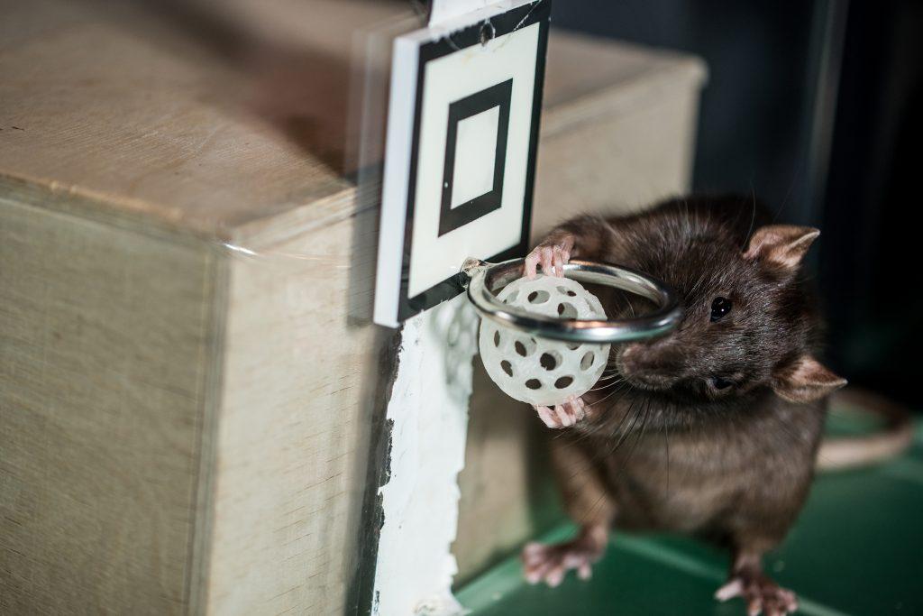 Rotta pelikentällä tekemässä koria.