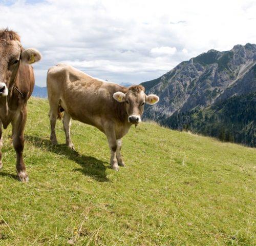 Kühe im Allgäu