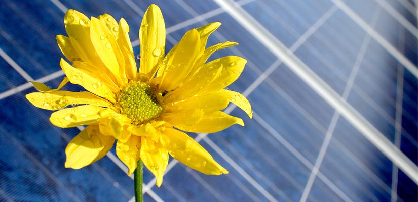 Sunflower over solar panels