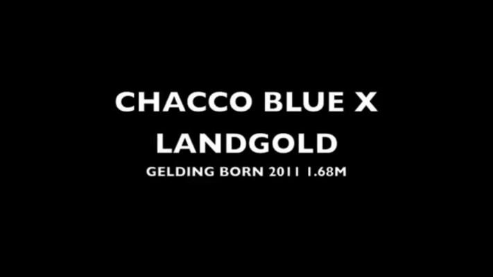 Photo - Chacco blue X Landgold