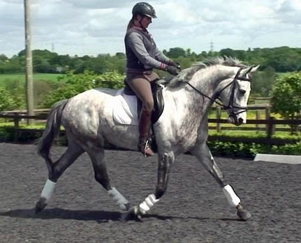 Photo - Danish Warmblood mare by Blue Hors Don Olymbrio (Jazz/ Donnerhall)