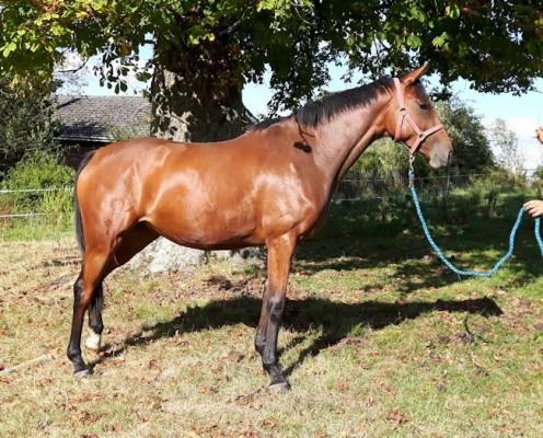 Photo - Attractive bay mare 3yo,16 hh approx by ROYALDIK