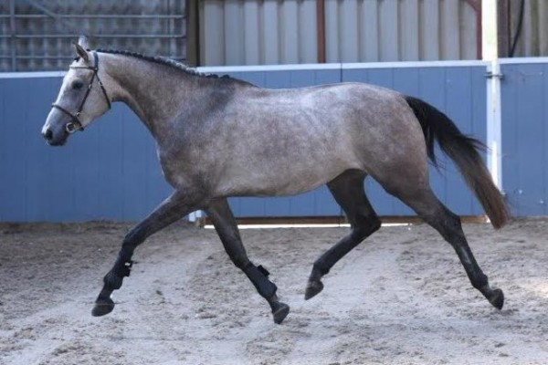 Photo - Super Event Prospect by Myspires Revolution (Stanhope's Diddicoy)