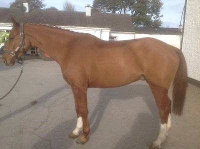 Photo - Smart 15.3h 7yo chestnut gelding by Silvano