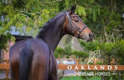 Photo - Phenomenal KWPN mare for sale.