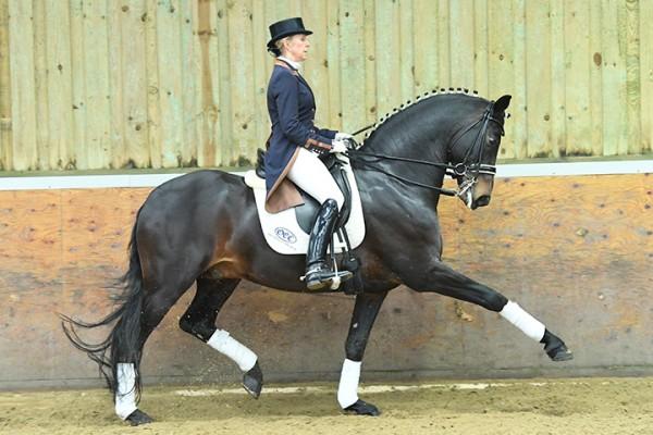 Horse for sale: OLDENCRAIG EXQUISITE - Lingfield, Surrey