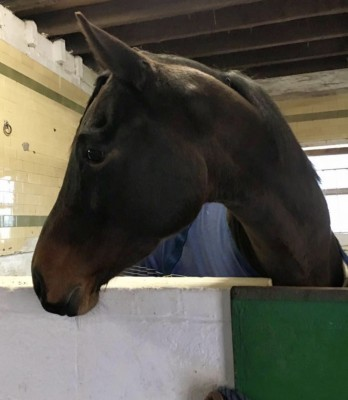 Horse for sale: Reg - Bolton, Lancashire