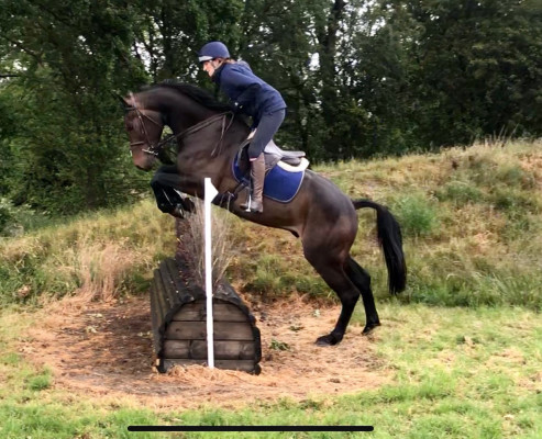 Photo - Very Smart 16.2hh 4yo Gelding