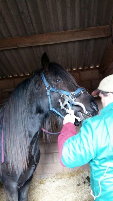 Photo - H J Cory  Equine Dentistry
