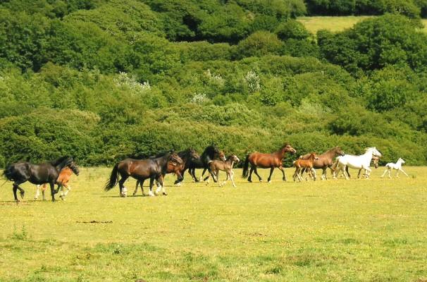 Photo - Tresorya Welsh Cobs
