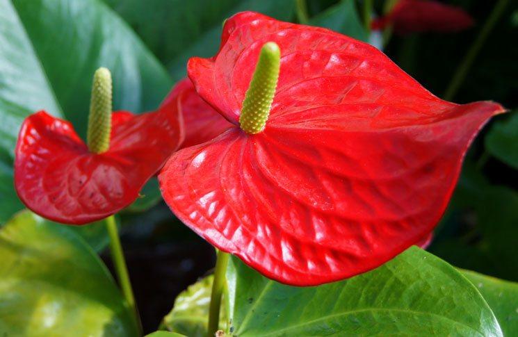 plantas de interior con flor anturio rojo