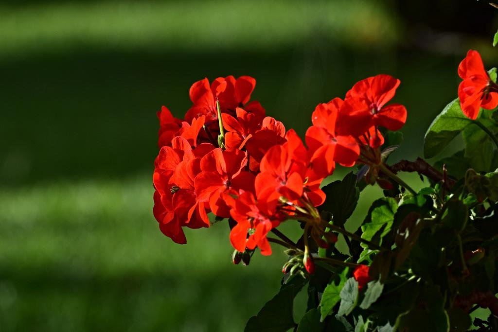 plantas de interior con flor geranio