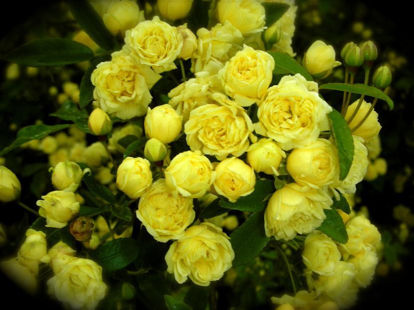 plantas de interior con flor rosal_amarillo