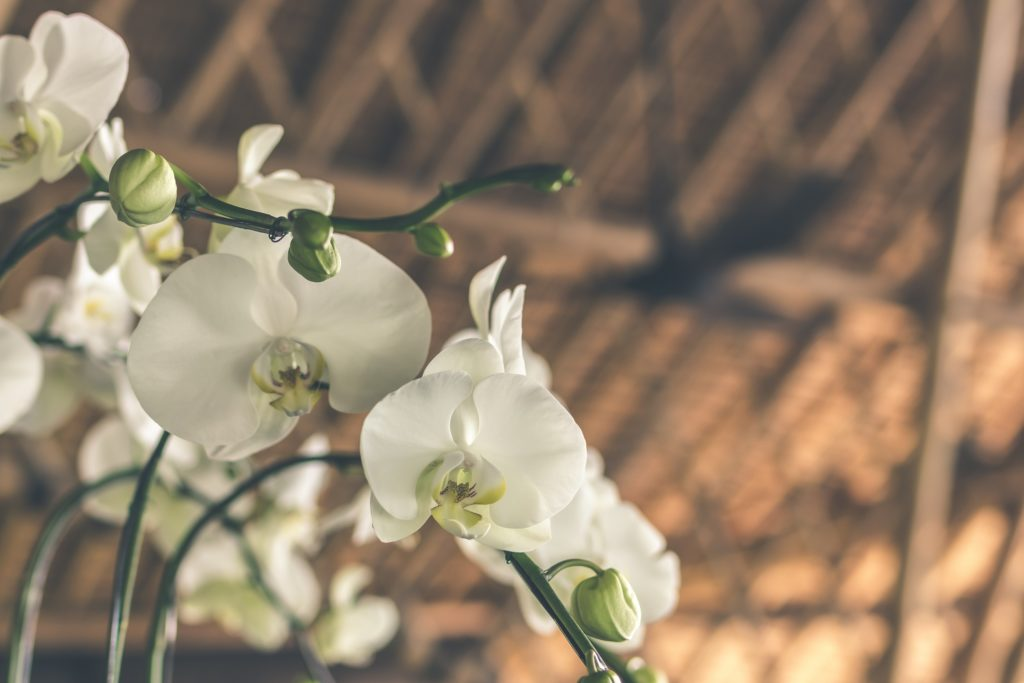 plantas de interior orquídea