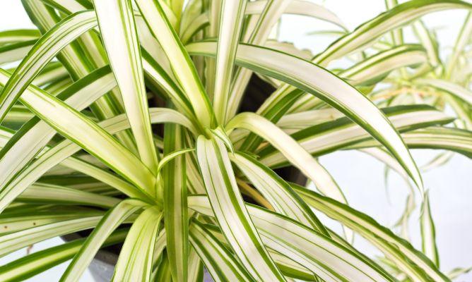 Cinta Planta Colgante
