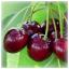 Cherry Birches