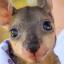 The Kangaroo