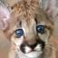 The Puma
