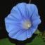 Falling Down Flowers IV (Asagao)