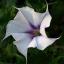 Falling Down Flowers II (Dachuura)