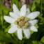 Falling Down Flowers XI (Usuyukisou)