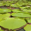 Amazon Water Lily