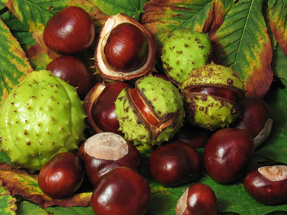 """""""Aesculus_hippocastanum_fruit.jpg"""""""