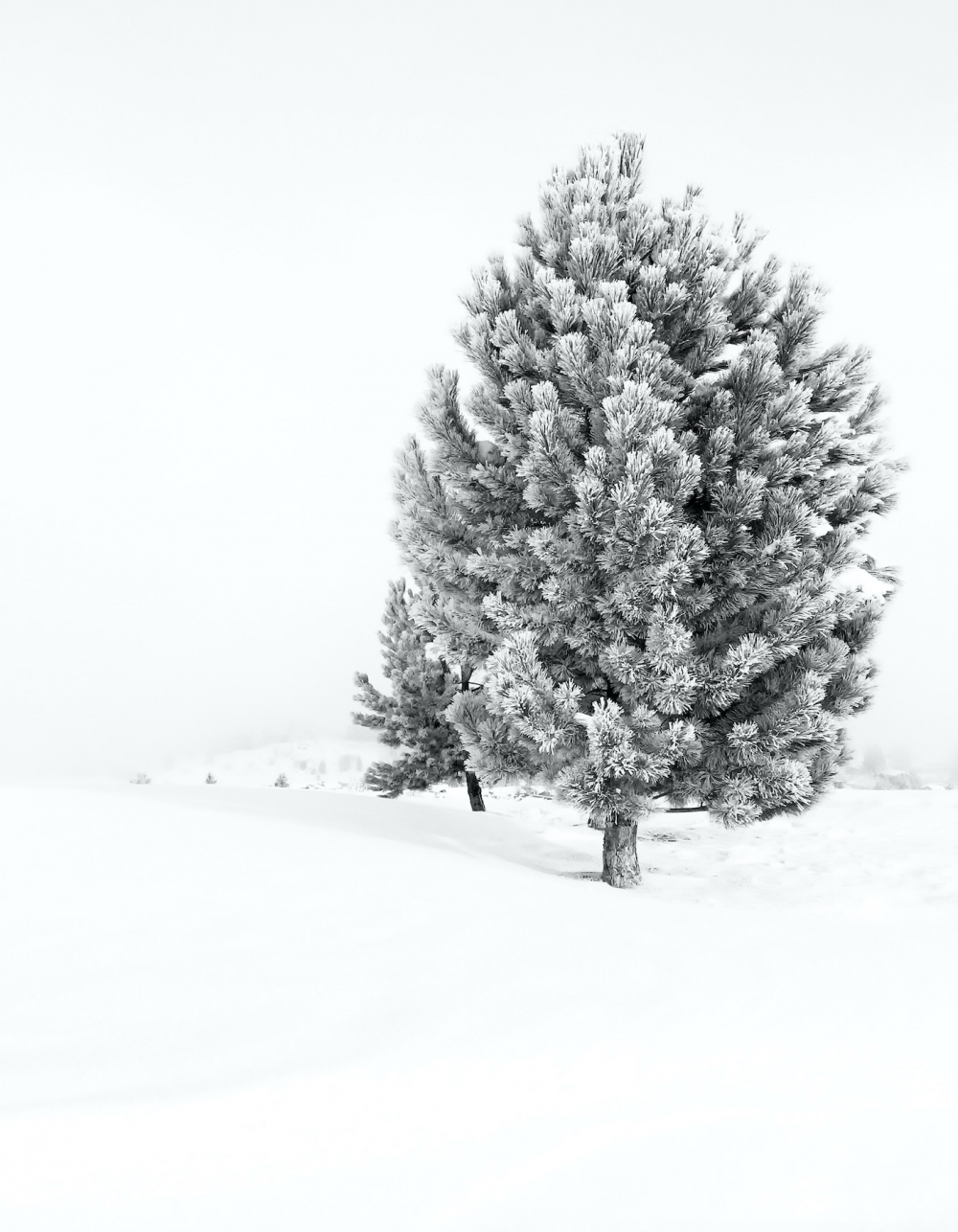 """Conifer_Tree.png"""