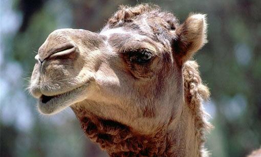 pene di cammello cè unerezione ma no