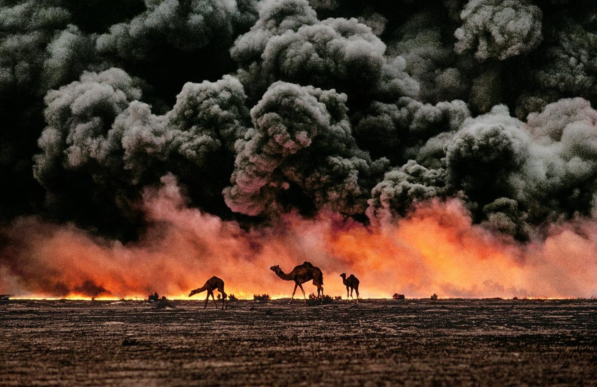 Camels and oil fire in Kuwait, 1991. | Magnum Photos Store