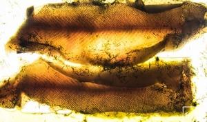 Filets de truite du Jura à l'absinthe