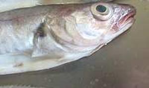 Désarêter un poisson rond