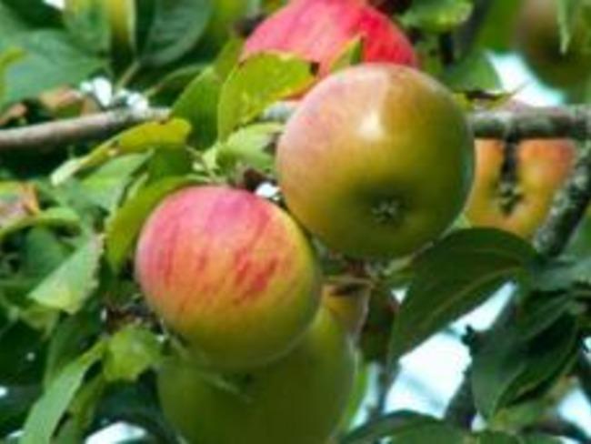 Confit de Pommes
