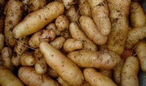 Pommes de terre fraîchement récoltées