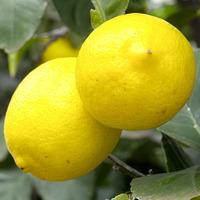 citrons sur l'arbre