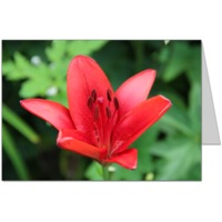 Red Lily Card