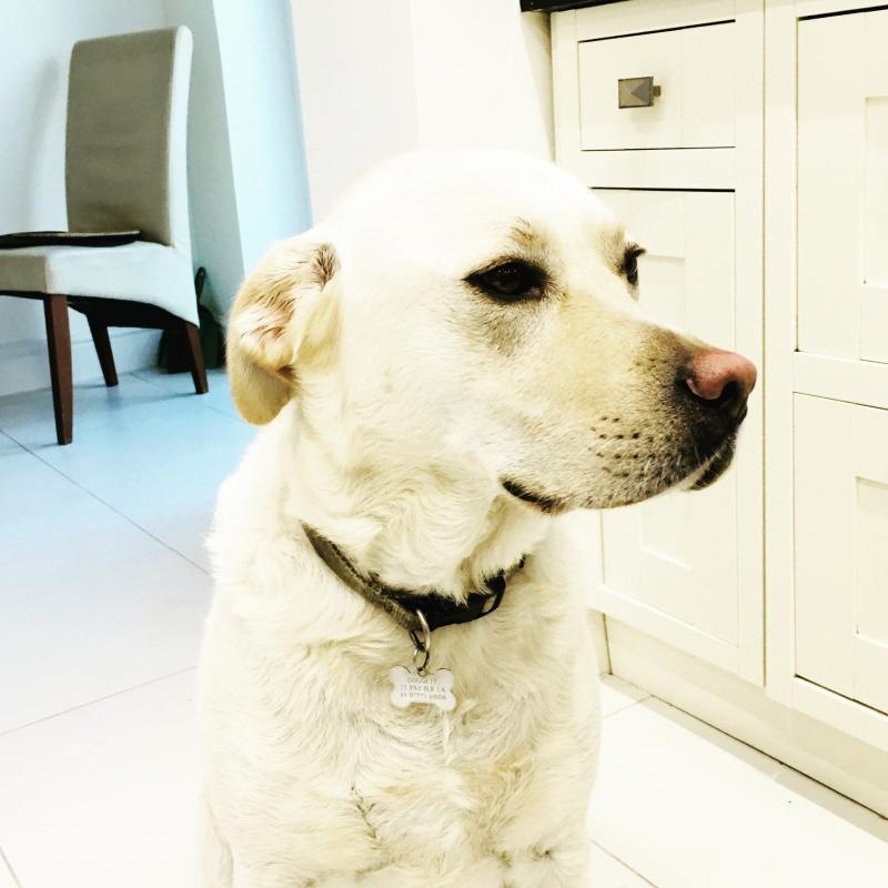 Jeffrey the Labrador