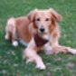 Justin ( Golden Retriever - Hovawart Mischling )