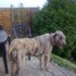 Pippilotta - Irish Wolfhound