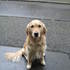 Bambel bee - Golden Retriever